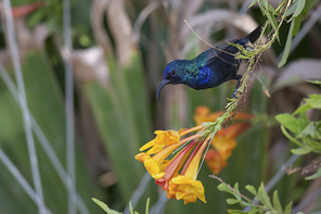 Jerichonektarvogel