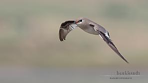 Sandbrachschwalbe