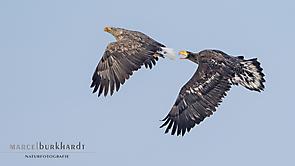 Seeadler und Riesenseeadler