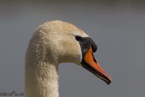 Höckerschwan