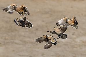 Fleckenflughuhn