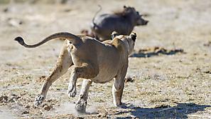Löwin jagt Warzenschwein