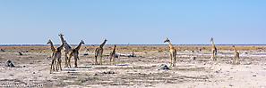 Süd-Giraffe