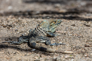 Grüner Leguan - Green Iguana