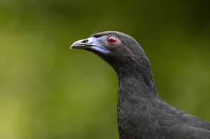 Mohrenguan - Black Guan