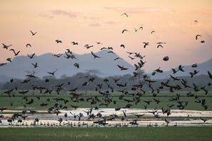 Rotschnabel Pfeifgänse - Black-bellied Whisteling Ducks