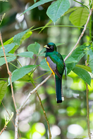 Schwarzkehltrogon - Black-throated Trogon