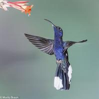 Purpurdegenflügel - Violet Sabrewing