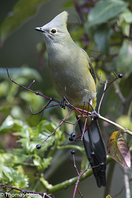 Langschwanz-Seidenschnäpper - Long-tailed Silky-Flycatcher