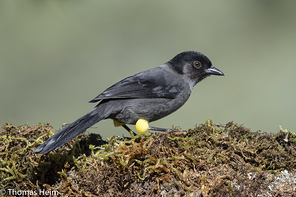 Gelbschenkel-Buschammer - Yellow-thighed Finch