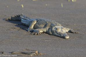 Spitzkorkodil - American Crocodile