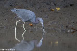 Blaureiher - Little Blue Heron