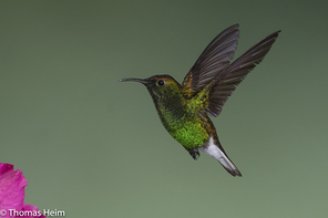 Scharzbauchkolibri - Black-bellied Hummingbird