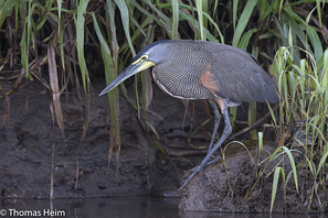 Nacktkehlreiher - Bare-throated Tiger-Heron