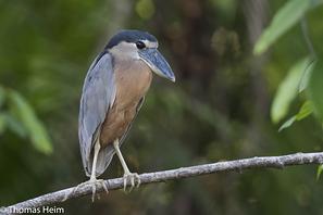 Kahnschnabel - Boat-billed Heron