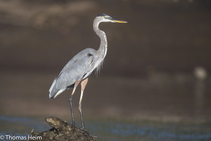 Kanadareiher - Great Blue Heron