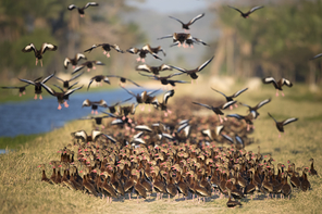 Schwarzbauchpfeifgänse - Black-bellied Whistling-Ducks