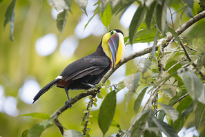 Goldkehltukan - Black-mandibled Toucan
