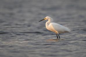 Schmuckreiher - Snowy Egret