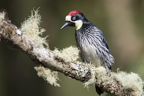 Eichelspecht - Acorn Woodpecker