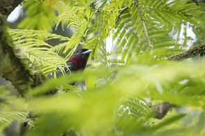 Purpurbrustkotinga - Purple-throated Fruitcrow