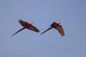 Arakanga - Scarlet Macaw