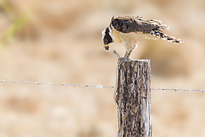 Lachfalke - Laughing Falcon