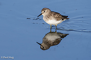 Wiesenstrandläufer - Least Sandpiper