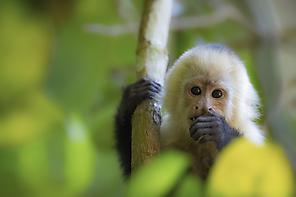 Panama-Kapuzineraffe - White-faced Capuchin