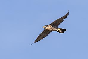 Wanderfalke - Peregrine Falcon