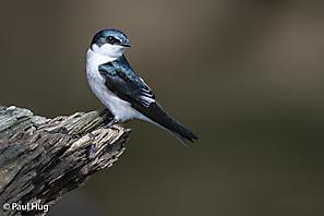 Mangroveschwalbe - Mangrove Swallow