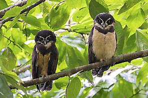 Brillenkauz - Spectacled Owl