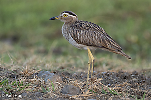 Dominikanertriel - Double-striped Thick-Knee