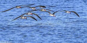 Amerikanischer Scherenschnabel - Black Skimmer
