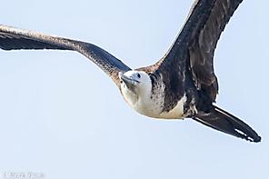 Prachtfregattvogel - Magnificent Frigatebird