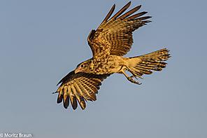 Gelbkopfkarakara - Yellow-headed Karakara