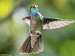 Dickschnabelkolibri - Magnificent Hummingbird