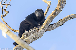 Brüllaffe - Howler Monkey
