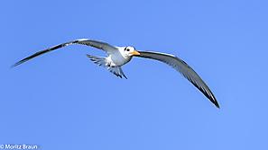 Königsseeschwalbe - Royal Tern