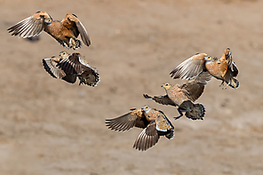 Fleckenflughühner