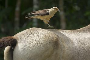 Gelbkopfkarakara