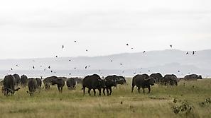 Rauchschwalben über Kaffernbüffel