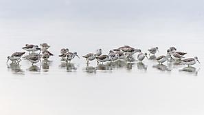 Teichwasserläufer
