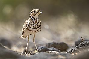 Bindenrennvogel