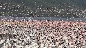 Flamingos & Rosapelikane auf Lake Bogoria