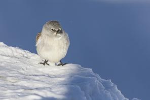 Schneesperling