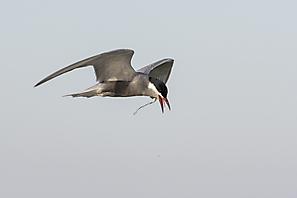 Weissbartseeschwalbe