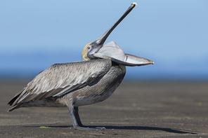 Braunpelikan - Brown Pelican