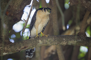 Kappenwaldfalke - Collared Forest-Falcon