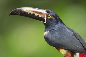 Halsbandarassari - Collared Aracari
